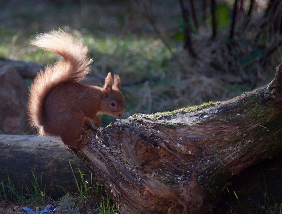 red-squirrel-gallery8